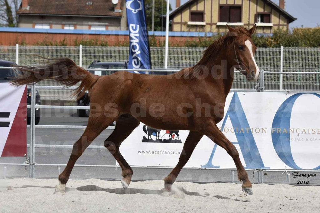 Concours d'élevage de Chevaux Arabes - Demi Sang Arabes - Anglo Arabes - ALBI les 6 & 7 Avril 2018 - FLEURON CONDO - Notre Sélection - 05