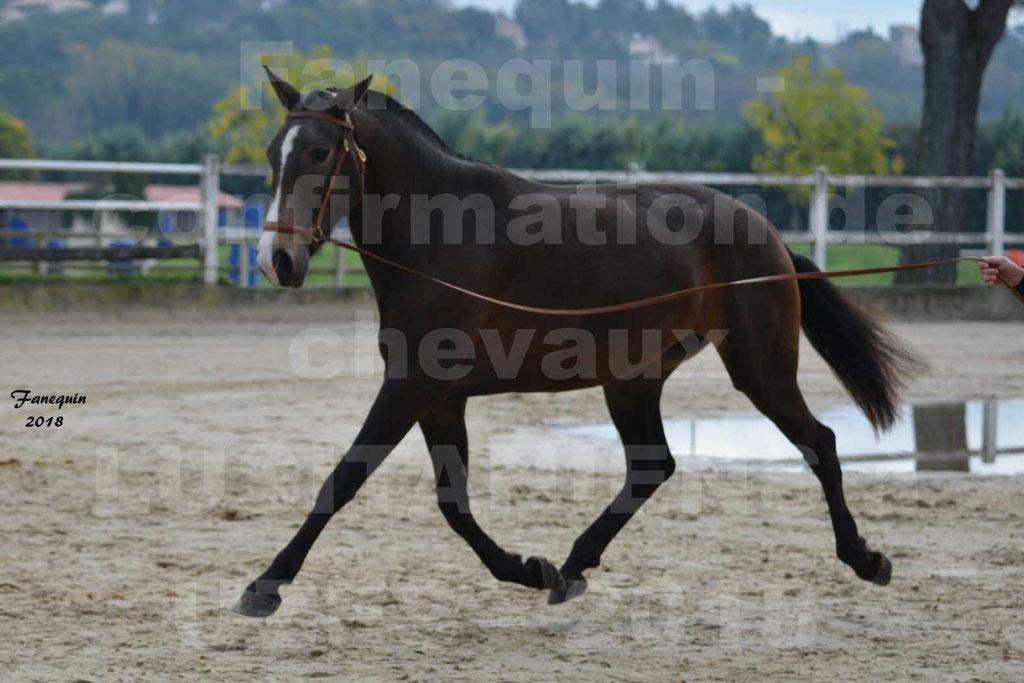 Confirmation de chevaux LUSITANIENS aux Haras d'UZES Novembre 2018 - LOUNA DU CASTEL - 14