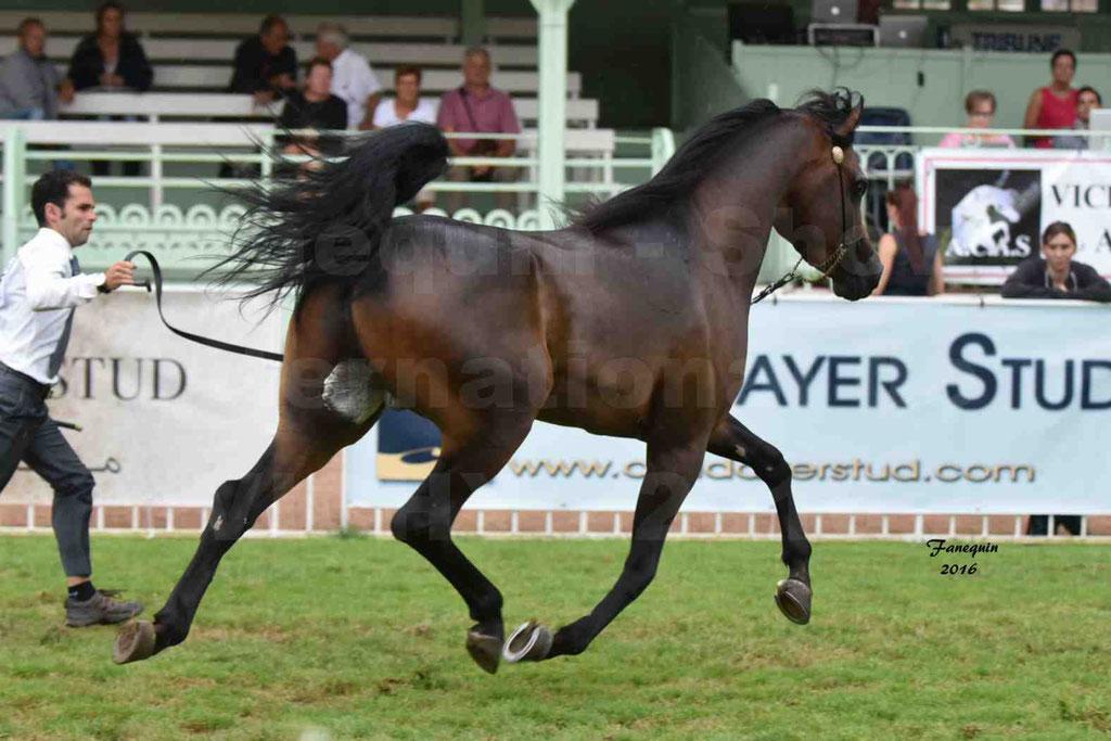 International Arabian Horse Show B de VICHY 2016 - MILLIAR - Notre Sélection - 22
