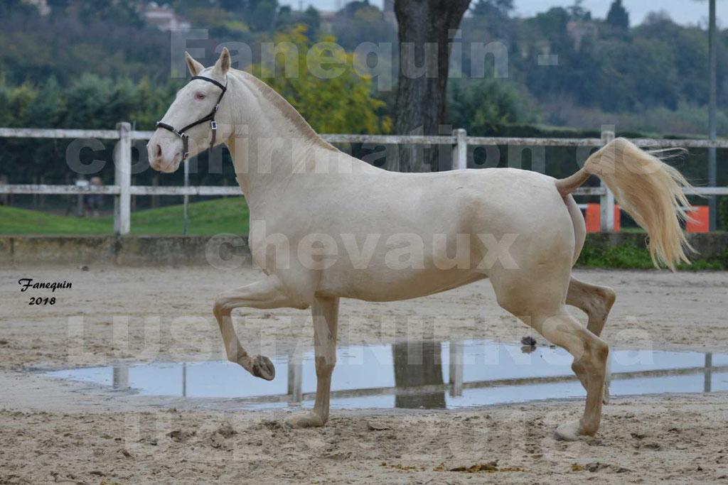 Confirmation de chevaux LUSITANIENS aux Haras d'UZES Novembre 2018 - LOLIBLOU - 15