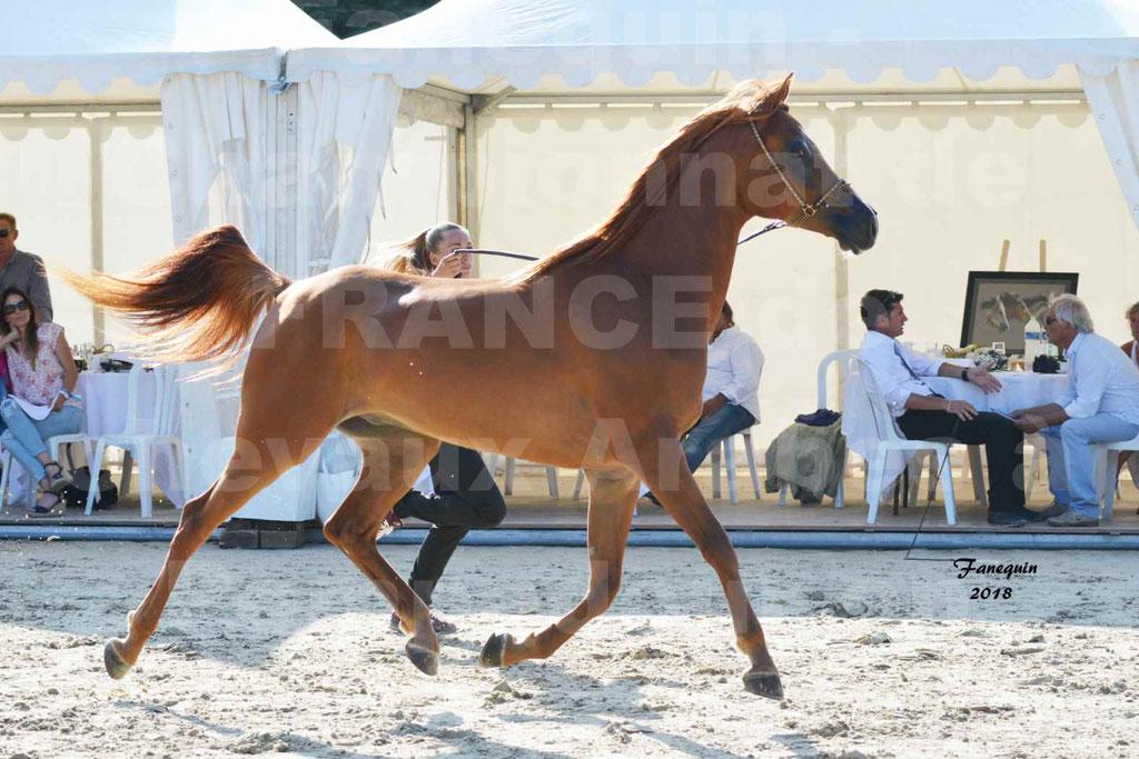 Championnat de FRANCE de chevaux Arabes à Pompadour 2018 - MAAMAR ISHANE - Notre Sélection - 03