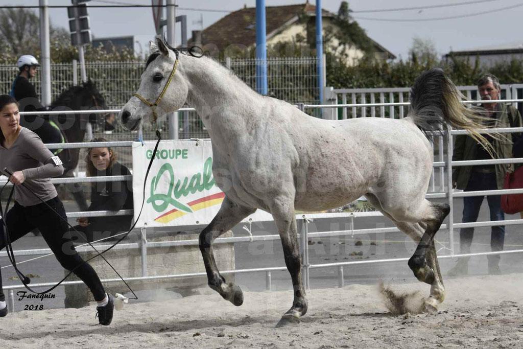 Concours d'élevage de Chevaux Arabes - Demi Sang Arabes - Anglo Arabes - ALBI les 6 & 7 Avril 2018 - ATTILA PICAREL - Notre Sélection - 02