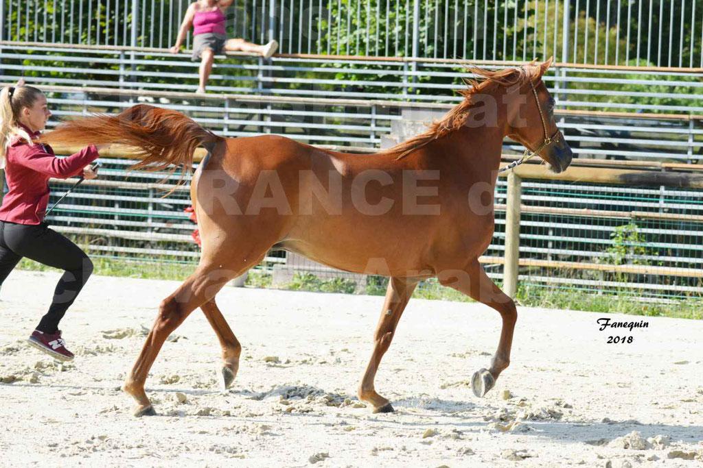 Championnat de FRANCE de chevaux Arabes à Pompadour 2018 - MAAMAR ISHANE - Notre Sélection - 09