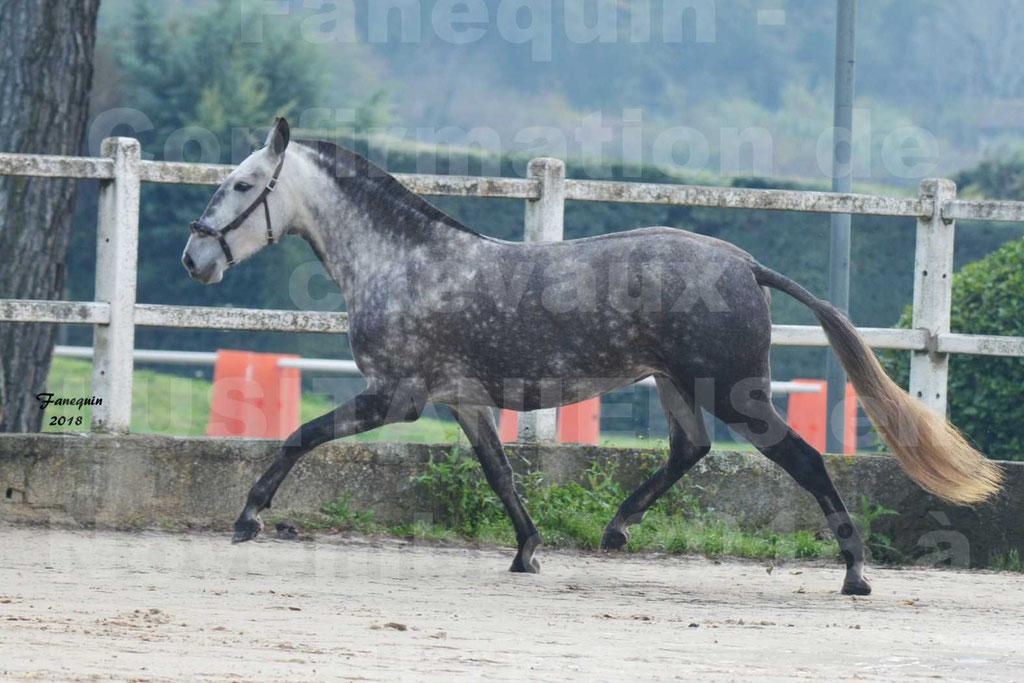 Confirmation de chevaux LUSITANIENS aux Haras d'UZES Novembre 2018 - JAVA DO REAL - 18