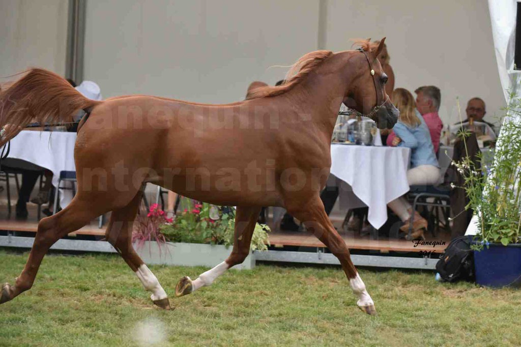 International Arabian Horse Show B de VICHY 2016 - DZHARI NUNKI - Notre Sélection - 13