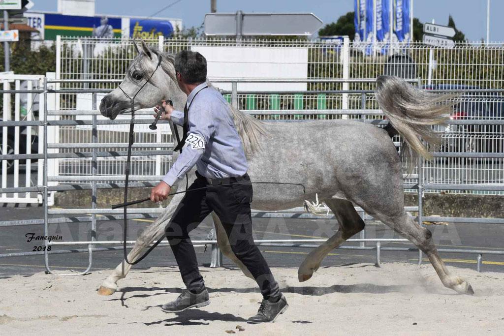 Concours d'élevage de Chevaux Arabes - Demi Sang Arabes - Anglo Arabes - ALBI les 6 & 7 Avril 2018 - SHAKEEL DE LAFON - Notre Sélection - 7
