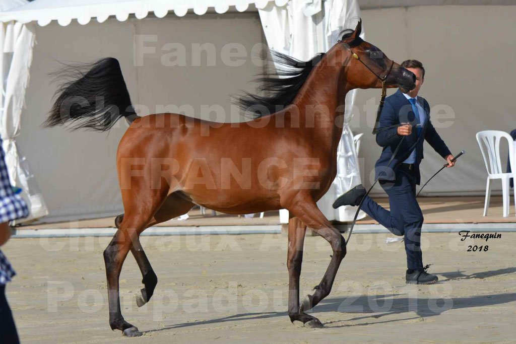 Championnat de FRANCE de chevaux Arabes à Pompadour en 2018 - BO AS ALEXANDRA - Notre Sélection - 15
