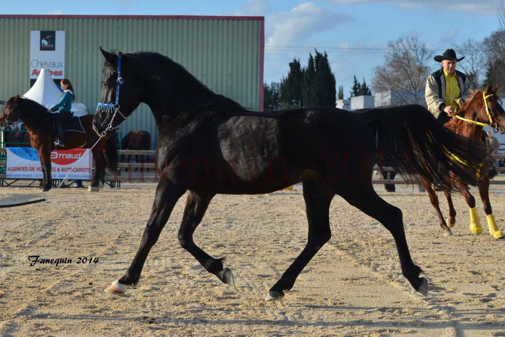 Etalon ARABE d'Endurance noir