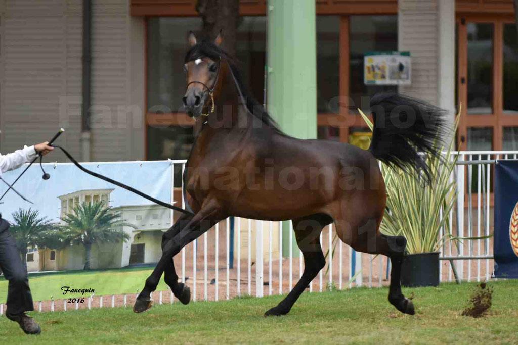 International Arabian Horse Show B de VICHY 2016 - MILLIAR - Notre Sélection - 15