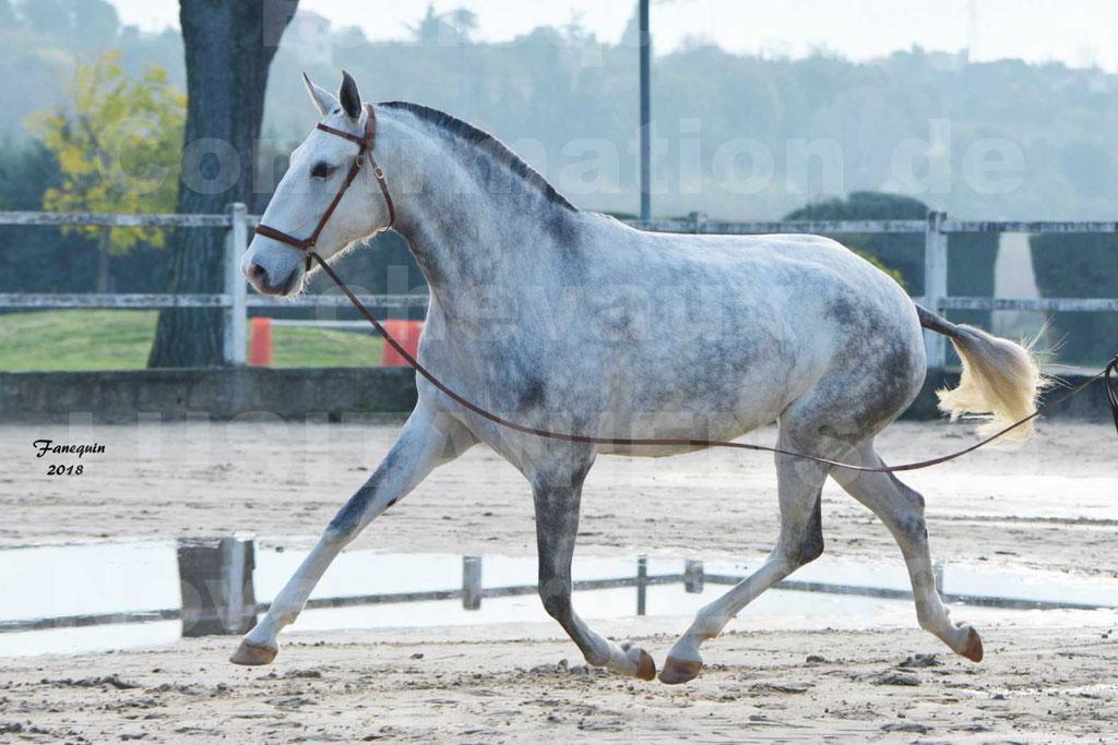 Confirmation de chevaux LUSITANIENS aux Haras d'UZES Novembre 2018 - LUTECE DU CASTEL - 08