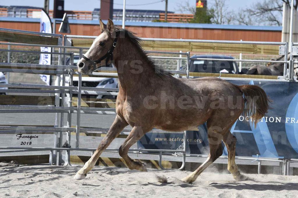 Concours d'élevage de Chevaux Arabes - Demi Sang Arabes - Anglo Arabes - ALBI les 6 & 7 Avril 2018 - GAZIM DU CARRELIE - Notre Sélection - 04