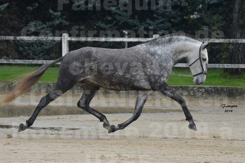 Confirmation de chevaux LUSITANIENS aux Haras d'UZES Novembre 2018 - JAVA DO REAL - 28
