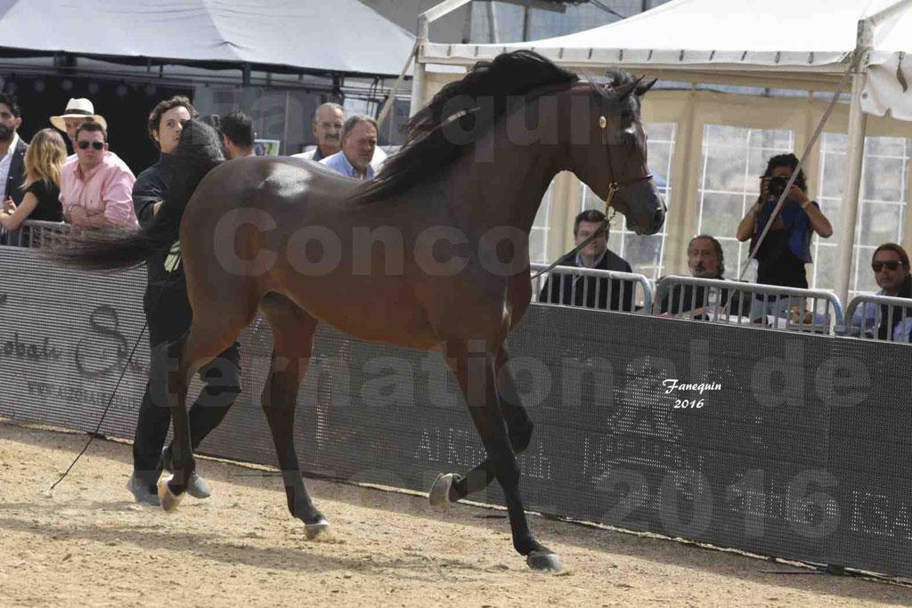 Championnat du pur-sang arabe de la Méditerranée et des pays arabes - MENTON 2016 - EKS ALIHANDRO - Notre Sélection - 07