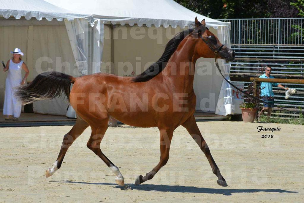 Championnat de FRANCE des chevaux Arabes à Pompadour en 2018 - SH CHARISMA - Notre Sélection - 18