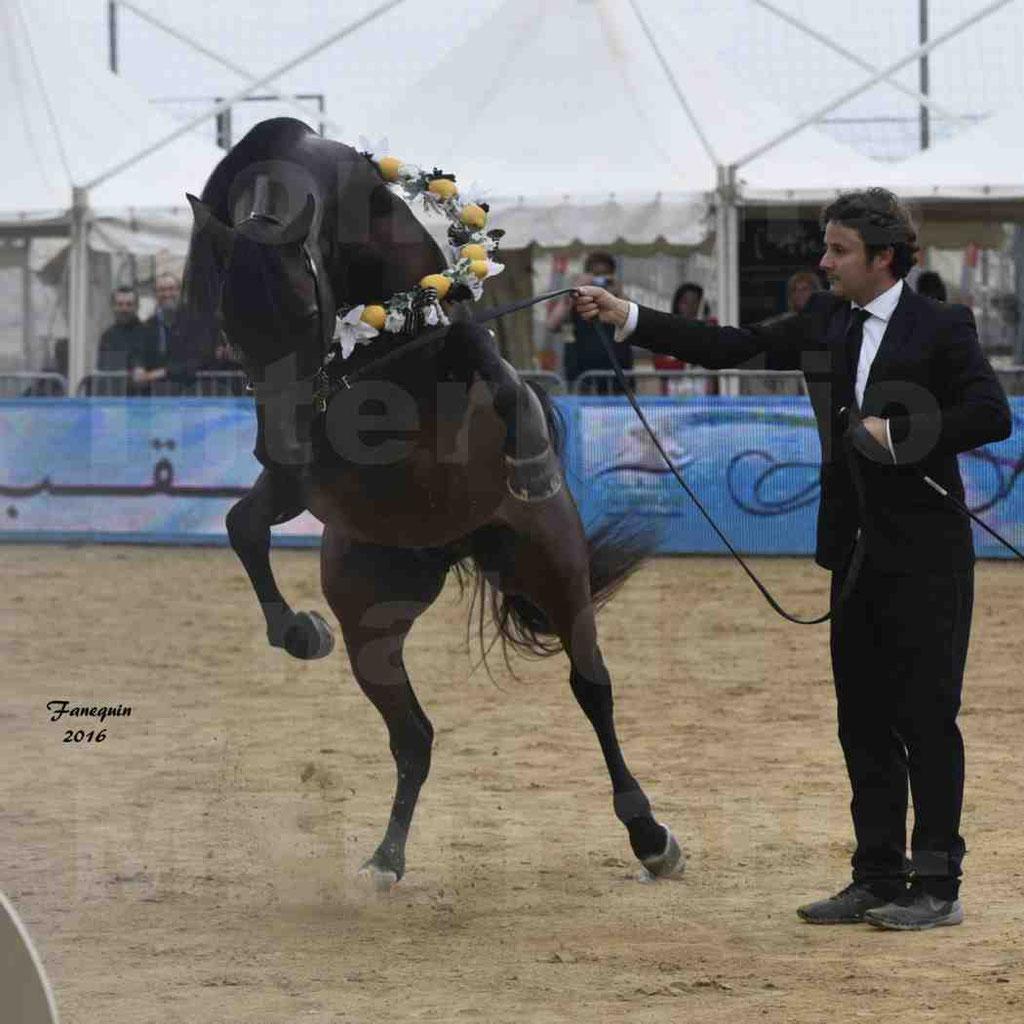 Championnat du pur-sang arabe de la Méditerranée et des pays arabes - MENTON 2016 - EKS ALIHANDRO - Notre Sélection - 39