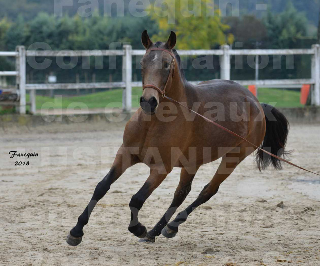 Confirmation de chevaux LUSITANIENS aux Haras d'UZES Novembre 2018 - LAMOUR DU CASTEL - 13