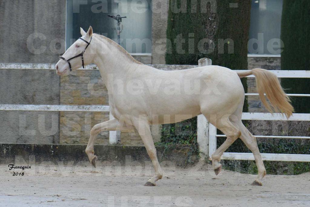 Confirmation de chevaux LUSITANIENS aux Haras d'UZES Novembre 2018 - LOLIBLOU - 28