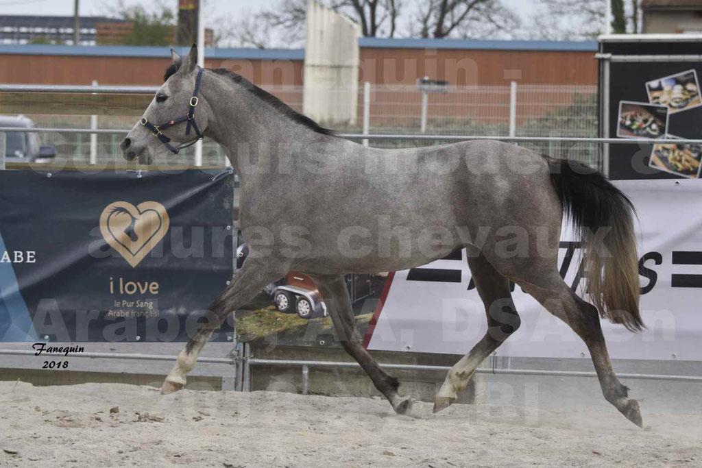 Concours d'élevage de Chevaux Arabes - Demi Sang Arabes - Anglo Arabes - ALBI les 6 & 7 Avril 2018 - FESIHAMKA ARTAGNAN - Notre Sélection - 16