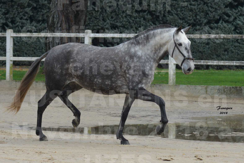 Confirmation de chevaux LUSITANIENS aux Haras d'UZES Novembre 2018 - JAVA DO REAL - 26