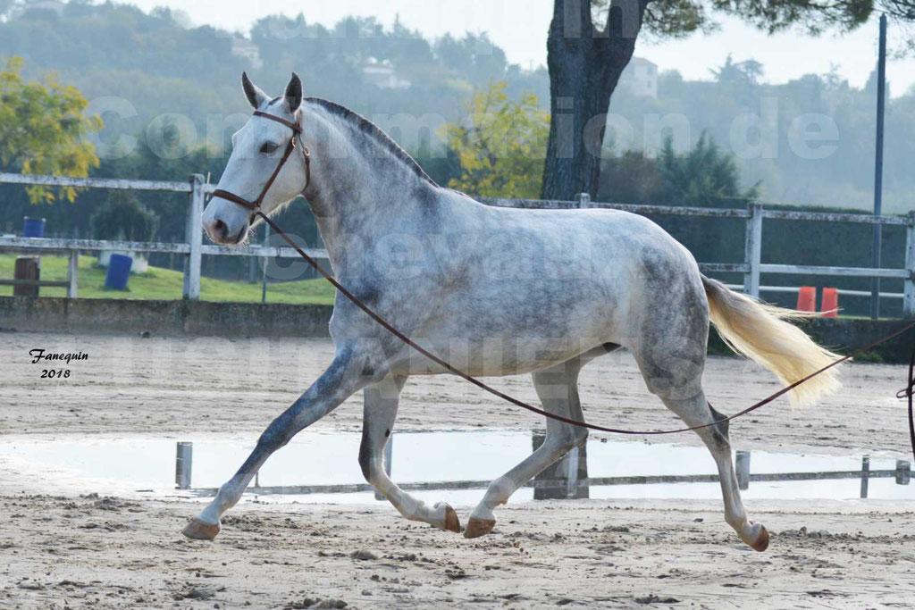 Confirmation de chevaux LUSITANIENS aux Haras d'UZES Novembre 2018 - LUTECE DU CASTEL - 09