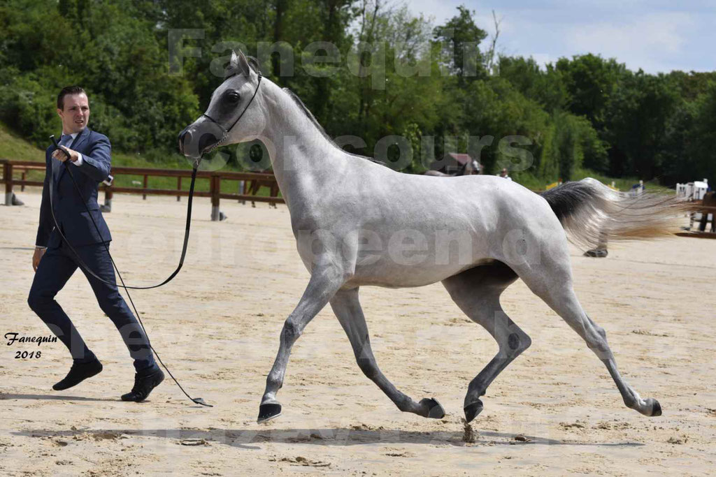 Concours Européen de chevaux Arabes à Chazey sur Ain 2018 - FATIN ALBIDAYER - Notre Sélection - 07