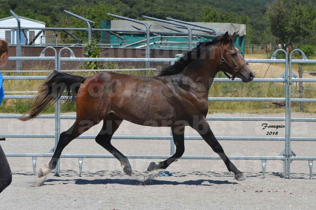 Concours d'Elevage de chevaux Arabes  le 27 juin 2018 à la BOISSIERE - DORKKAN DE FIGNOLS - 12