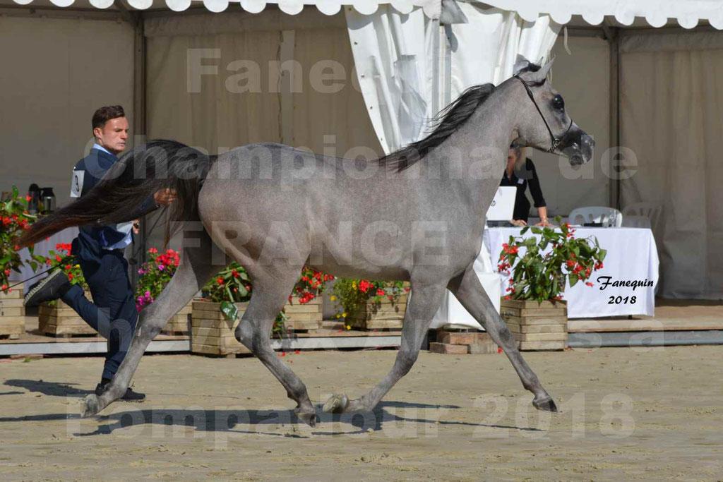 Championnat de FRANCE de chevaux Arabes à Pompadour en 2018 - SANIA DU CAYRON - Notre Sélection - 44