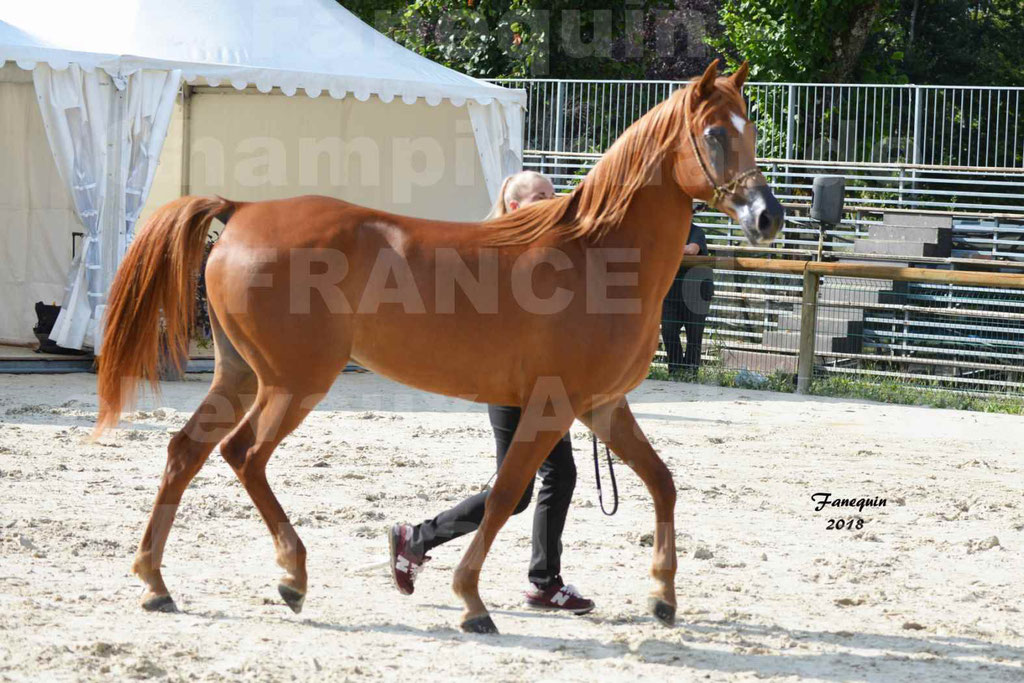 Championnat de FRANCE de chevaux Arabes à Pompadour 2018 - MAAMAR ISHANE - Notre Sélection - 01