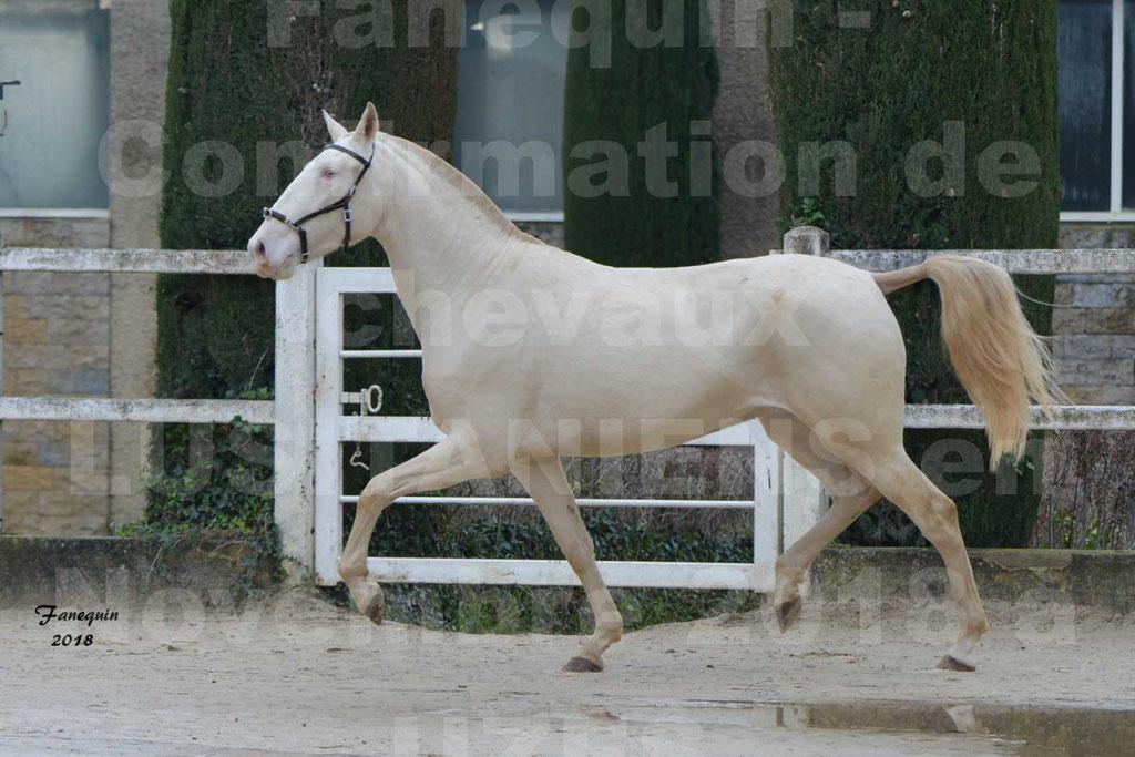 Confirmation de chevaux LUSITANIENS aux Haras d'UZES Novembre 2018 - LOLIBLOU - 27