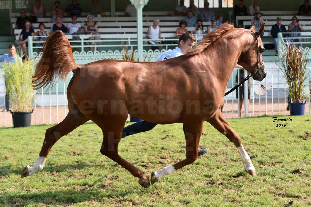 International Arabian Horse Show B de VICHY 2016 - DZHARI NUNKI - Notre Sélection - 23