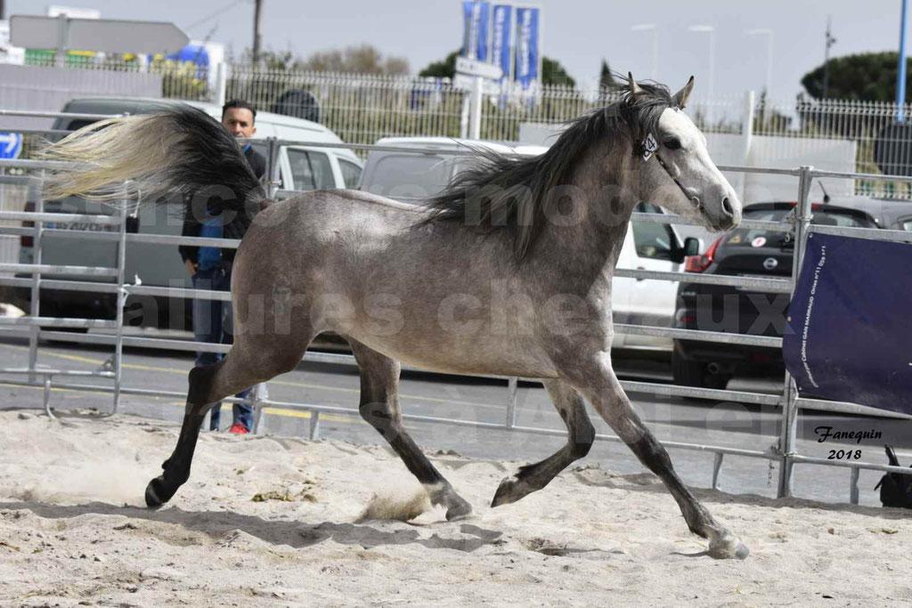 Concours d'élevage de Chevaux Arabes - Demi Sang Arabes - Anglo Arabes - ALBI les 6 & 7 Avril 2018 - FLORAC LARZAC - Notre Sélection - 3