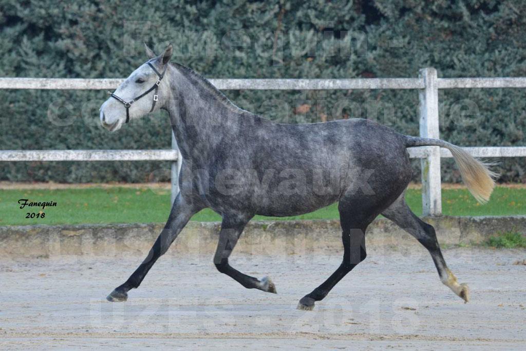 Confirmation de chevaux LUSITANIENS de Novembre 2018 - DALIA DU CLOS