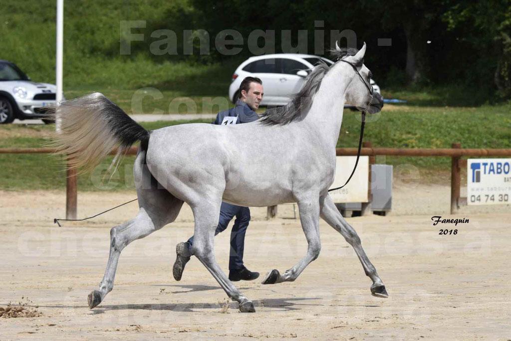 Concours Européen de chevaux Arabes à Chazey sur Ain 2018 - FATIN ALBIDAYER - Notre Sélection - 15