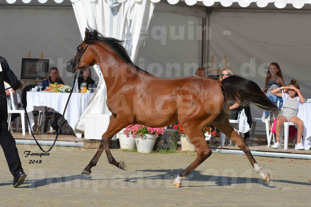 Championnat de FRANCE des chevaux Arabes à Pompadour en 2018 - SH CHARISMA - Notre Sélection - 02