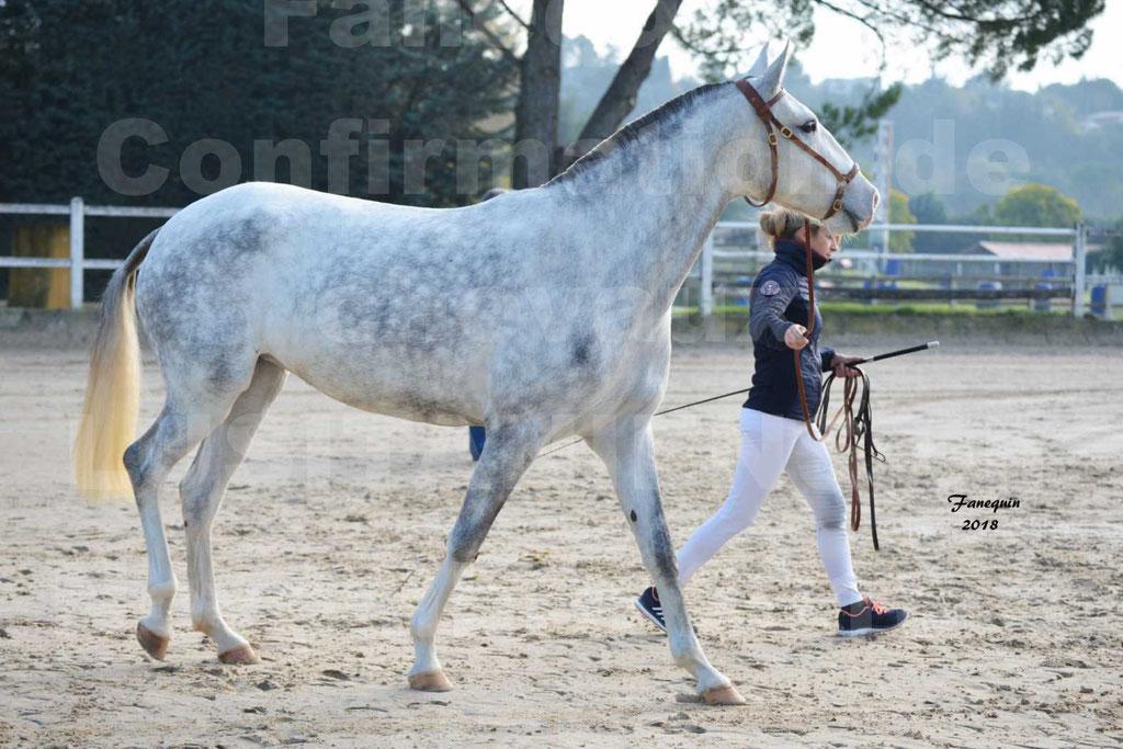 Confirmation de chevaux LUSITANIENS aux Haras d'UZES Novembre 2018 - LUTECE DU CASTEL - 03