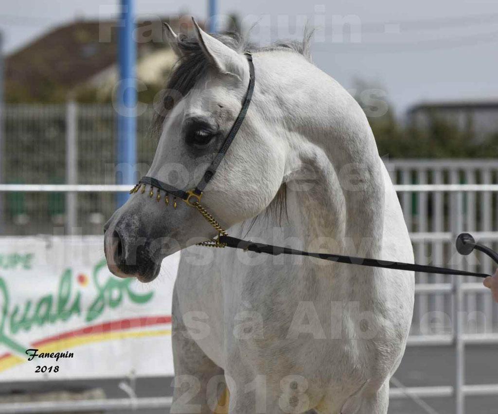 Concours d'élevage de Chevaux Arabes - Demi Sang Arabes - Anglo Arabes - ALBI les 6 & 7 Avril 2018 - FADI ALBIDAYER - Notre Sélection - Portraits - 07