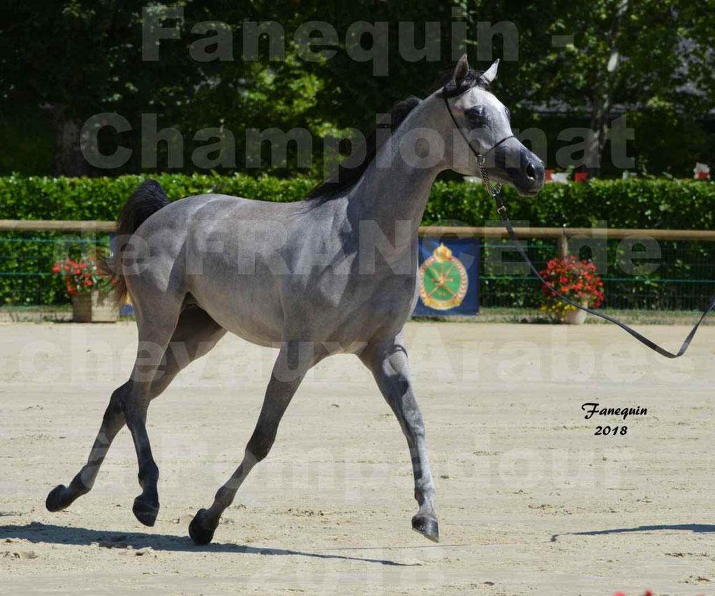 Championnat de FRANCE de chevaux Arabes à Pompadour en 2018 - SANIA DU CAYRON - Notre Sélection - 15