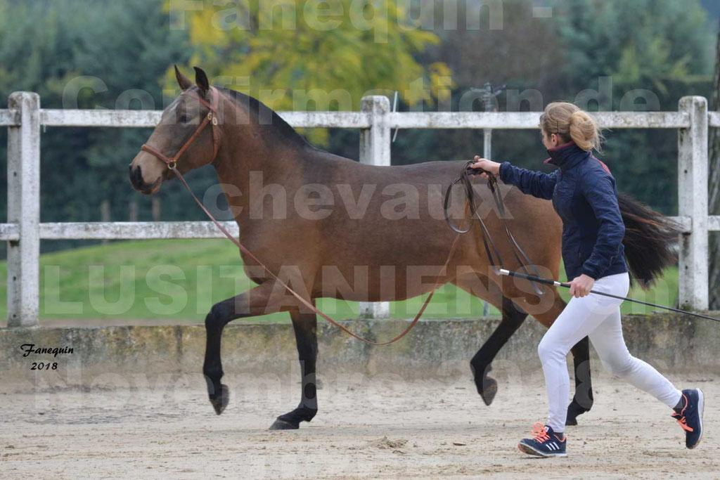 Confirmation de chevaux LUSITANIENS aux Haras d'UZES Novembre 2018 - LAMOUR DU CASTEL - 01