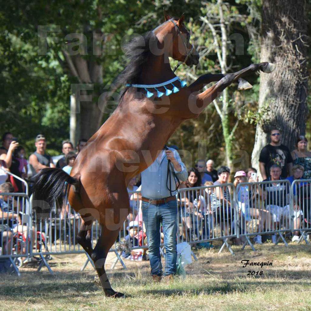 Fête du cheval à GRAULHET le 16 septembre 2018 - Présentation de chevaux Arabe Elevage de GACIA - 1