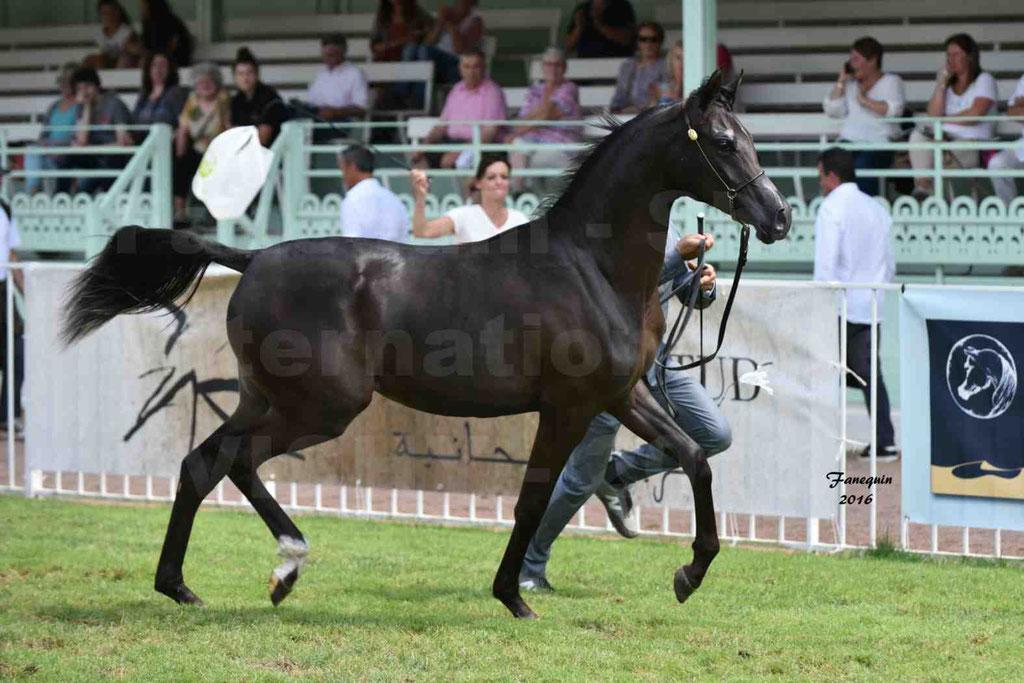 International Arabian Horse Show B de VICHY 2016 - ANNALISA ALIH - Notre Sélection - 14