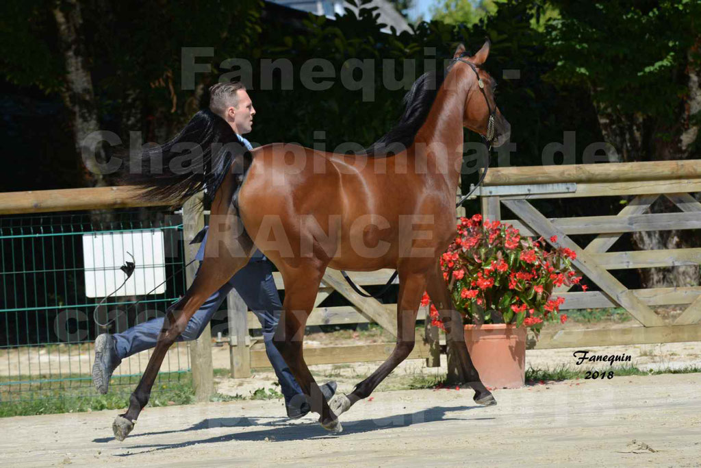 Championnat de FRANCE de chevaux Arabes à Pompadour en 2018 - BO AS ALEXANDRA - Notre Sélection - 07