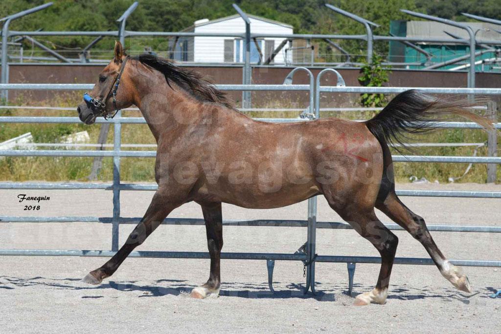 Concours d'Elevage de chevaux Arabes  le 27 juin 2018 à la BOISSIERE - MAREK LOTOIS - 04