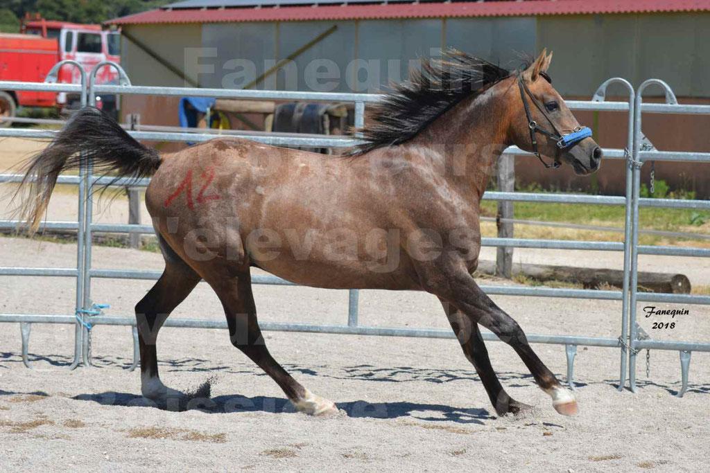 Concours d'Elevage de chevaux Arabes  le 27 juin 2018 à la BOISSIERE - MAREK LOTOIS - 07