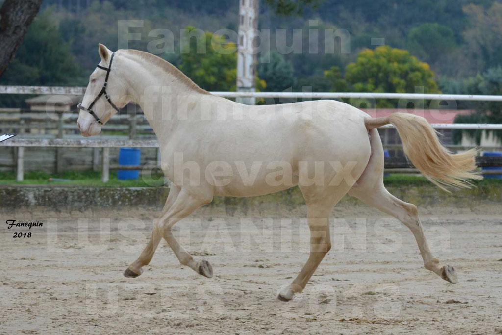 Confirmation de chevaux LUSITANIENS aux Haras d'UZES Novembre 2018 - LOLIBLOU - 08