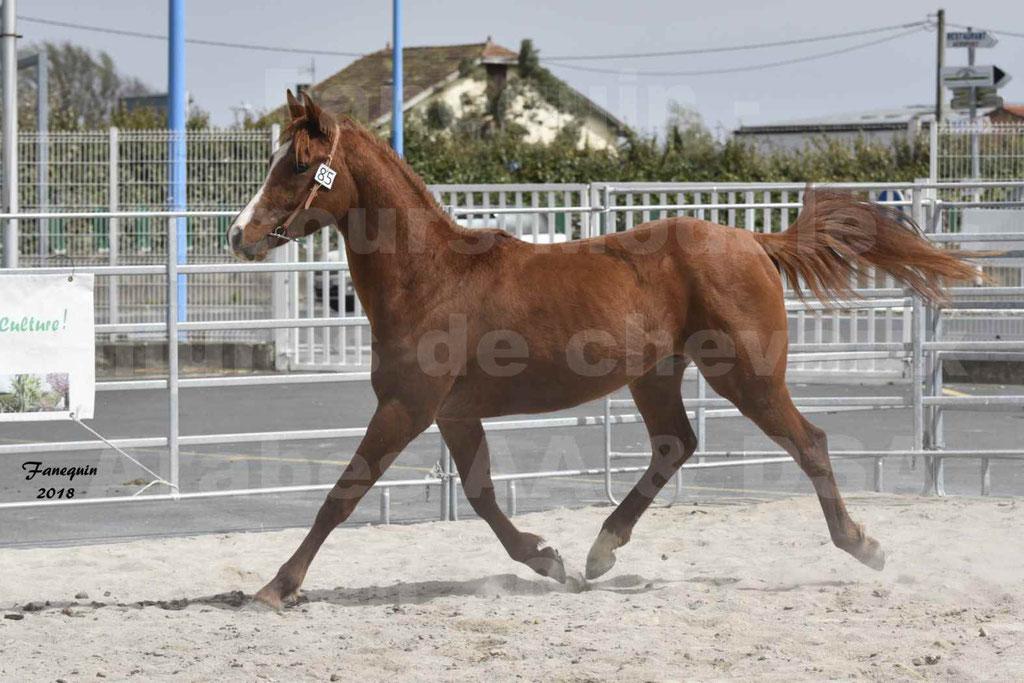 Concours d'élevage de Chevaux Arabes - Demi Sang Arabes - Anglo Arabes - ALBI les 6 & 7 Avril 2018 - FLEURON CONDO - Notre Sélection - 08
