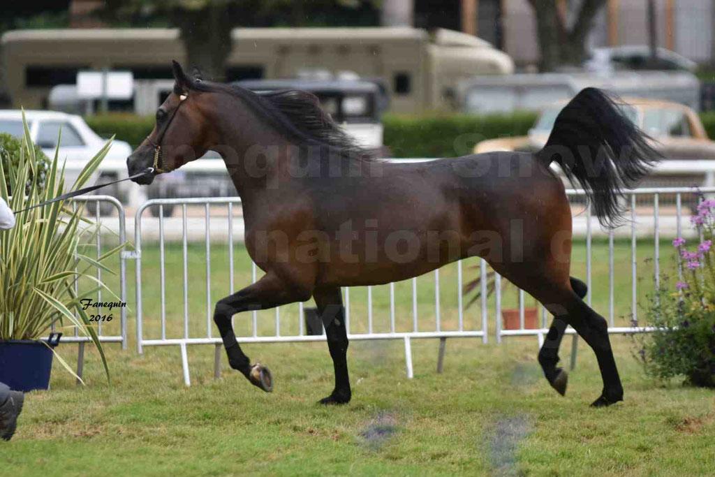 International Arabian Horse Show B de VICHY 2016 - MILLIAR - Notre Sélection - 23