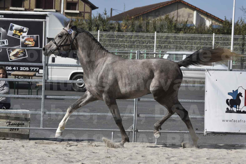 Concours d'élevage de Chevaux Arabes - Demi Sang Arabes - Anglo Arabes - ALBI les 6 & 7 Avril 2018 - GRIMM DE DARRE - Notre Sélection - 09