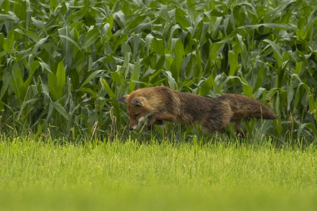 Weltschönster Fuchs beim Mäusesprung, mit Erfolg!