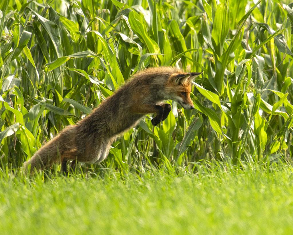 mein schöner Fuchs wieder beim Mäusesprung