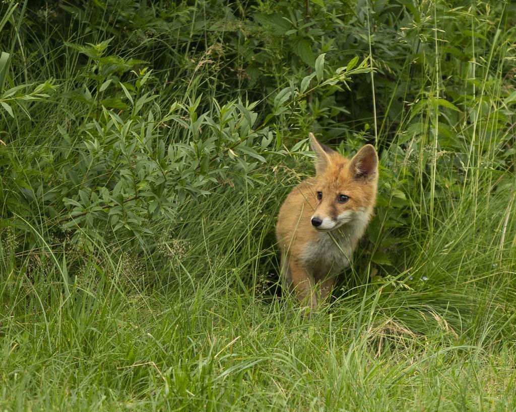 Fuchs in Nachbarsgarten :-)